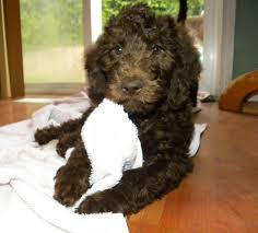 Do F1 Aussiedoodles Shed by F1b Labradoodle Litter 2011 Aussiedoodle And Labradoodle Puppies
