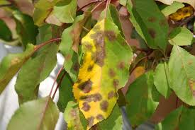 Christmas Tree Has Aphids by Up And Down In Southern Ontario Onnurserycrops