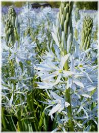 in focus camassia leichtlinii caerulea blue heaven