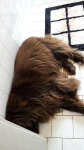 Do Newfoundlands Shed Hair by Interesting Post And Information On Newfoundland Dog Meet The Smurf