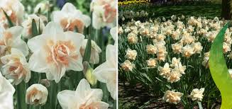 bulb of the month narcissi delnashaugh ruigrok flowerbulbs