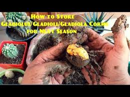 how to store gladiolus gladioli gladiola for next season