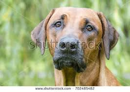 Do Rhodesian Ridgebacks Drool by Enraged Aggressive Angry Dog Grin Jaws Stock Photo 440583223