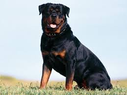 Dogs That Dont Shed Bad by Do Rottweilers Shed U2022 Bunkblog