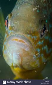 Pumpkin Seed Sunfish Pictures by Close Up Of A Freshwater Pumpkinseed Sunfish Underwater Stock