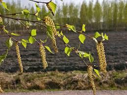 Finlands National Tree Silver Birch