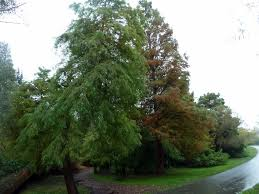 Bald Cypress Care: Tips On Growing A Bald Cypress Tree Best Shade Trees For Oregon Clanagnew Decoration Garden Design With How Do I Choose The Top 10 Faest Growing Gardens Landscaping And Yards Of For Any Backyard Small Trees Plants To Grow Grass In Howtos Diy Shop At Lowescom The Home Depot Of Ideas On Pinterest Fast 12 Great Patio Hgtv Solutions Sails Perth Lawrahetcom A Good Option Providing You Can Plant Eucalyptus Tree