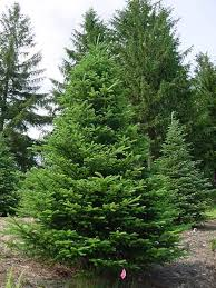 Fraser Fir Christmas Trees Nc by The Five Most Popular Christmas Trees U2022 Arbor Day Blog