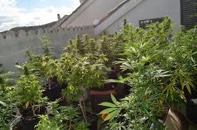 recolte cannabis exterieur date quand récolter nos plants de cannabis du growshop alchimia