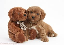 Do Cavapoos Shed A Lot by Dog Cavapoo Pup 6 Weeks Old And Soft Teddy Bear Photo Wp25375