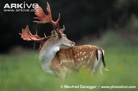 when do whitetails lose their antlers 100 images do deer