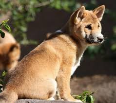 Hypoallergenic Dogs That Dont Shed Much by Dog Breeds That Do Not Shed Posts Related To Medium Dog Breeds