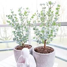 eucalyptus gunnii azura mostgummi eukalyptus eukalyptus
