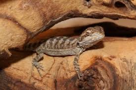 Bearded Dragon Shedding A Lot by Signs Of Stress For A Bearded Dragon Bearded Dragon Care 101