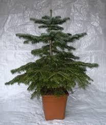 Christmas Tree Seedlings by Nordmann Fir Nordman Fir Container Grown Living Christmas Tree