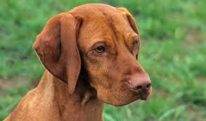 do vizsla dogs shed vizsla breed information