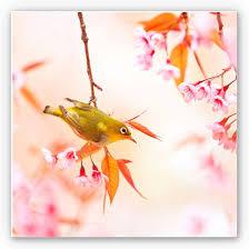 wandbild vogelgezwitscher in der kirschblüte quadratisch