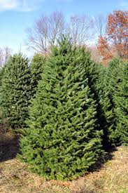 Nordmann Fir Christmas Tree Seedlings by The Amazing Life Of Christmas Trees Part Ii Passion In Food And