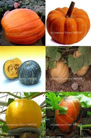 Atlantic Giant Pumpkin Record by The 25 Best Giant Pumpkin Seeds Ideas On Pinterest