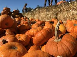 Pumpkin Patch Farm Half Moon Bay by 10 Bay Area Pumpkin Patches Mapped