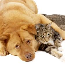 fatty liver cats ways to treat liver disease in dogs and cats animal