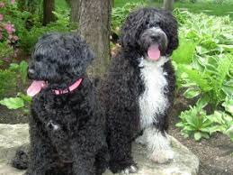 Portuguese Water Dog Non Shedding by Hunter Portuguese Water Dog