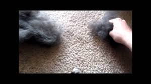 Dogs That Dont Shed Or Stink by How Much Do Border Collies Shed Youtube