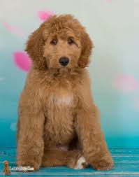 Non Shedding Dog Breeds With Pictures by Australian Labradoodle A Versatile Hypoallergenic Family And