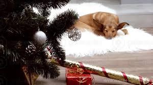 Driftwood Christmas Trees Cornwall by Gallereplay Sleeping Dog And Christmas Tree
