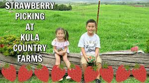Kula Pumpkin Patch by Strawberry Picking At Kula Country Farms March 23 2017 Youtube