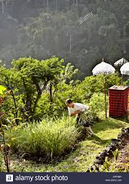 100 Ubud Hanging Gardens Resort Chef Picks Vegetables In The Resorts Organic Garden At