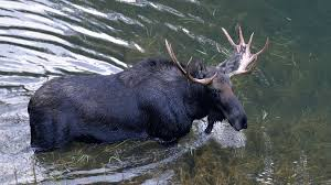 Bull Moose Shedding Antlers by Wildlife Make Surprise Daytime Visits To Elk Camp Bowhunting Com