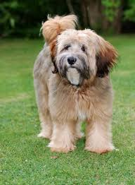 My Lhasa Apso Is Shedding Hair by Tibetan Terrier
