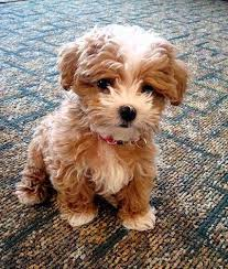 Terriers That Dont Shed by What A Furry Bundle Of Love Top 5 Dog Breeds That Don U0027t Shed