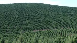 Christmas Tree Has Aphids by Seasons Greening How Christmas Tree Farmers Are Cutting Down On