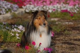are shelties good for first time owners see what real sheltie