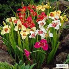 tigridia tiger flower bulb mix mexican shellflower mix high