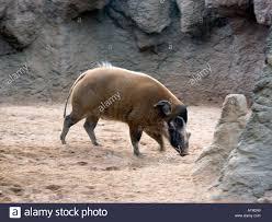Red River Hog West African Bush Pig Potamochoerus Porcus Mammal Mammals Animal Animals Wildlife Tusk Tusks Tusker