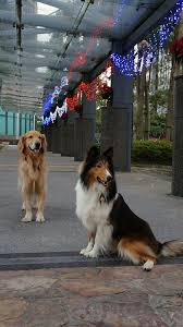 Sheltie and his Golden brother