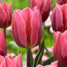 zyverden tulips bulbs pretty princess set of 12 87003 the