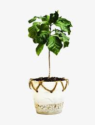 A Coffee Tree Picture Material Clipart PNG Image