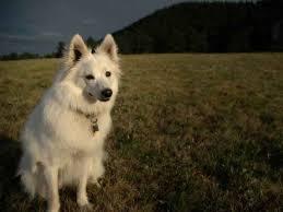 99 best miniature american eskimo dogs images on pinterest