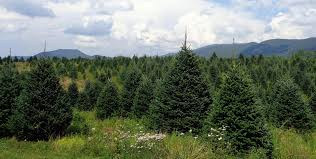 Leyland Cypress Christmas Tree by Tree Types U2013 Tennessee Christmas Tree Growers