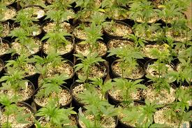 Pumpkin Patch Pueblo County by Growing Marijuana Outdoors What You Need To Know Colorado Pot Guide