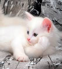 Do Maine Coons Shed In The Summer by Turkish Angora Cat Breed Information Pictures Characteristics