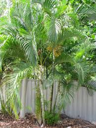 golden palm in pots oasis plant nursery plant nursery brisbane natives exotics