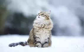 Do Maine Coons Shed In The Summer by Why Do Siberian Cats Shed So Much