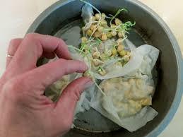 comment cuisiner les petits pois réussir semis de petits pois en terre lourde potagerdurable com
