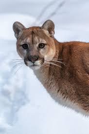 mountain cat mountain mountain cat screamer no matter