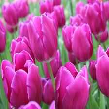 bulk tulips